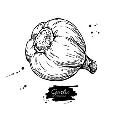 Garlic hand drawn  isolated vector