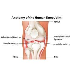 Human knee joint anatomy vector