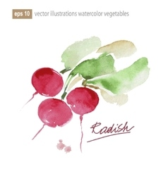 Red radish Watercolor vector image vector image