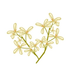 Beautiful Sweet Osmanthus Flower on White vector image