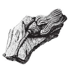 Fossil crinoid vintage vector