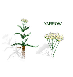 yarrow milfoil herbal medicines vector image