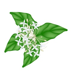 White indian cork flowers on white background vector