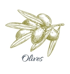 Olives branch of olive bunch sketch vector
