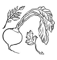 turnip vector image vector image