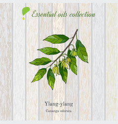 Ylang-ylang essential oil label vector