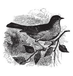 Dunnock or hedge accentor or perching bird vector