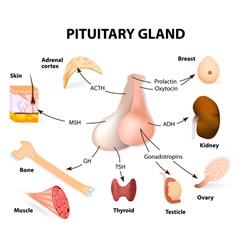 Pituitary hormone vector