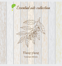 ylang-ylang essential oil label vector image vector image