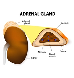 Adrenal glands vector