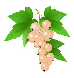 White currant vector