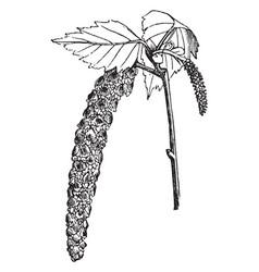 White birch vintage vector