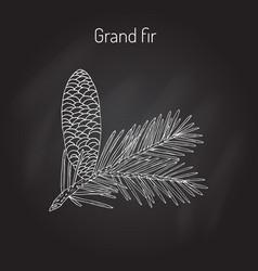 great silver fir vector image