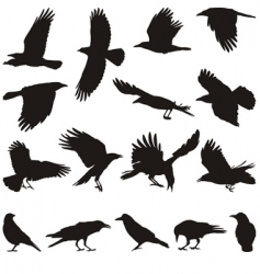 Carrion crow vector