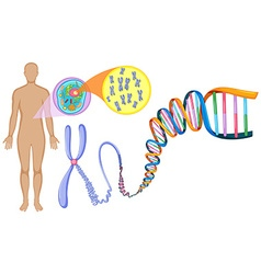 Human DNA in close up vector image