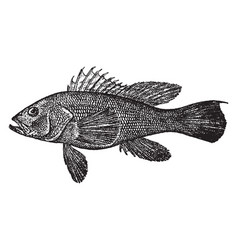 Black sea bass vintage vector
