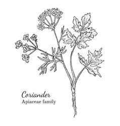 ink coriander hand drawn sketch vector image vector image