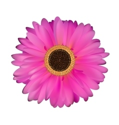 Gerbera flower white background vector