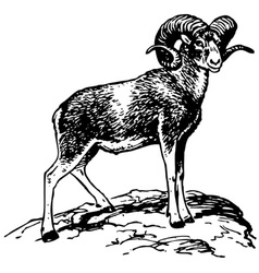 argali mountain sheep vector image vector image
