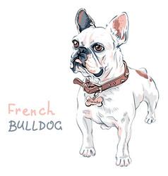 sketch domestic dog french bulldog breed vector image