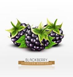 Blackberries isolated on white background vector