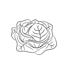 Hand drawn cabbage sketches on white background vector