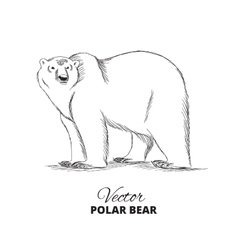 Polar bear hand drawn vector image