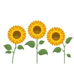 Yellow sun flowers on white background Sunflowers vector image vector image