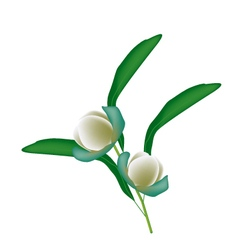 Two magnolia coco blossoms on white background vector