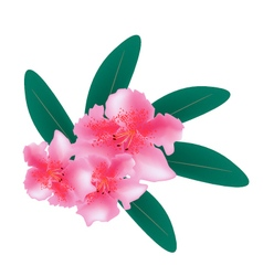 Pink rhododendron with green leaves on white vector