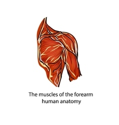 A structure of muscles of the shoulder vector