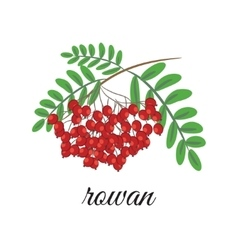 Red rowan vector