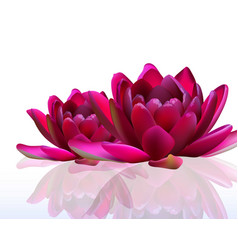 water lily flowers isolated on white vector image