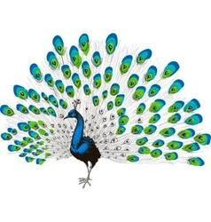 Peacock hand drawing vector