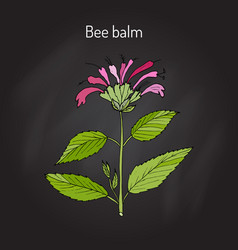 wild bergamot or bee balm vector image vector image
