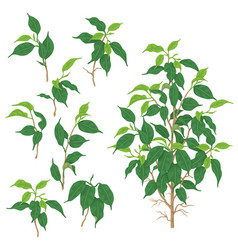 green ficus branches vector image vector image