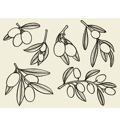 olive tree branches vector image