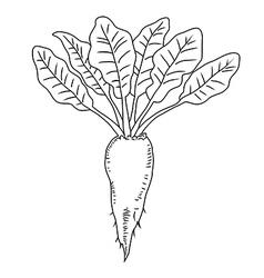 Beetroot vegetable line mangelwurzel vector
