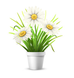 chamomiles and grass in flowerpot vector image
