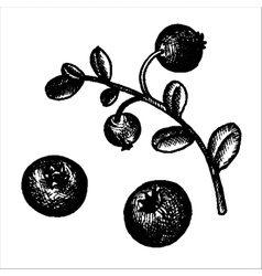 hand drawn cowberries vector image