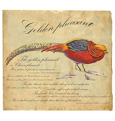 Golden pheasant - an hand painted vector
