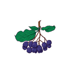 Hanging bunch of chokeberry black rowan berries vector