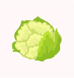 cauliflower isolated on white background vector image