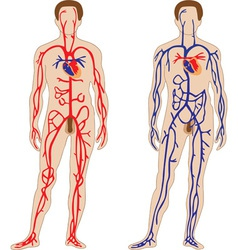 Venous and arterial system of the human vector