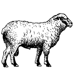 Shropshire sheep vector