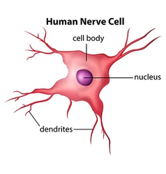 Human nerve cell vector