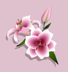 pink lilies on a white background vector image