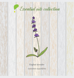 Lavender essential oil label aromatic plant vector