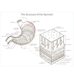 Structure of stomach medical educational vector image vector image