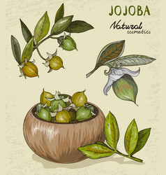 set of organic jojoba fruit vector image